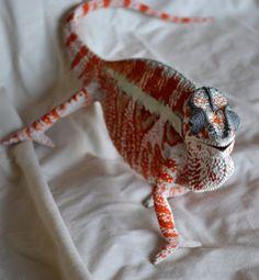 Gorgeous panther chameleon from Chameleon Addict