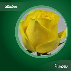Florana Roses from Ecuador leading flower group in quality, production, marketing and distribution of roses from Ecuador Organic Roses, Snack Recipes, Snacks, Colorful Roses, Latina, Chips, Yellow, Food, Snack Mix Recipes
