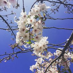 #PortHercule #princessgrace #japanesegarden #sakura #sakuraflower #cherryblossom #körsbärsblommor #montecarlo #monaco #pw #spring #love ☀️✨ by camidxb from #Montecarlo #Monaco