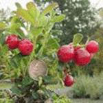 Ida Lingonberry-4 in pot/SPRING Second type of lingonberry to plant in island garden