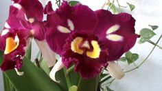 BLC Chinese Beauty Orchid Queen AM AOS | blc chinese bronze marco polo blc chinese bronze orchidheights blc