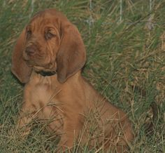 A Bloodhound To Die For 1000+ images ab...
