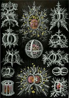 The drawings by the biologist and artist Ernst Haeckel in his book 'Art forms in Nature' are exquisite. Illustration Botanique, Botanical Illustration, Nature Illustration, Ernst Haeckel Art, Joseph Cornell, Natural Form Art, Oceans Of The World, Nautical Art, Sea Art