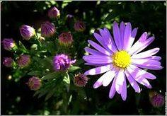 fleur aster dessin - Recherche Google