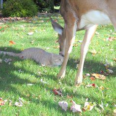 A deer comes every morning to visit with this kitty