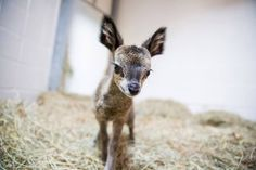 baby Klipspringer at Lincoln Park Zoo in Chicago
