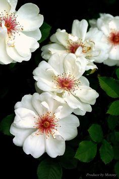 ~~Rose by Motony Anitha~~