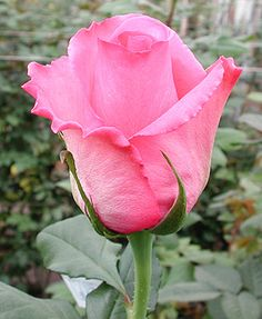 'Eliza 1' hybrid rose Pretty Roses, Beautiful Roses, Beautiful Gardens, Pretty In Pink, Rose Reference, Roses Only, Little Rose, Hybrid Tea Roses, Elegant Flowers