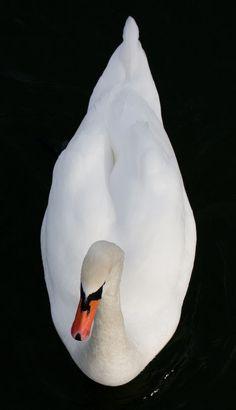 Swan, Like a droplet Swan Love, Beautiful Swan, Beautiful Birds, Life Is Beautiful, Swans, Harpy Eagle, White Swan, Love Birds, Bird Feathers