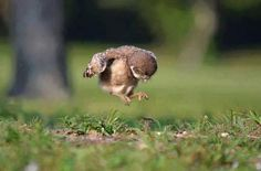 Baby owl learning to fly.