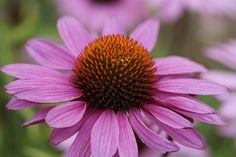 Perennials Echinacea purpurea aka Coneflower - Looking to beautify your garden this season with beautiful flowers? Try these full-sun perennials! They do well in the heat and some are low-maintenance! Garden Sink, Sun Garden, Dream Garden, Garden Paths, Full Sun Flowers, Garden Catalogs, Full Sun Perennials, Summer Plants, Low Maintenance Garden