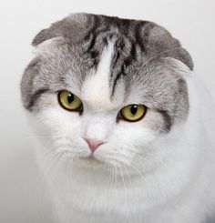 scottish fold - Google Search