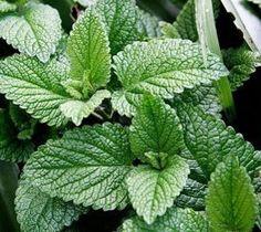 mint plants flowers google search peppermint health benefits jack ...