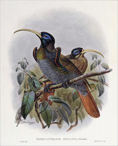 Richard Bowdler Sharpe_ Birds of paradise 48