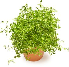 Timjami | Oksasen Puutarha Shrubs, Perennials, Trees, Garden, Google, Flowers, Plants, Garten, Tree Structure