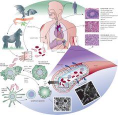 [Image: Ebola-virus-pathogenesis.jpg]http://conspiro.org/Thread-Facebook-and-Monsanto-top-shareholders-are-identical