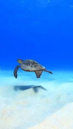 Hawaii Hotels, Hawaii Travel Guide, Ocean Creatures, Ocean Photography, Beautiful World, Puppies, Sea Turtles, Vacation, Nature