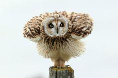 Deze foto van een Velduil is de winnaar van de publieksprijs februari 2012. Fotograaf: Rene Sluimer