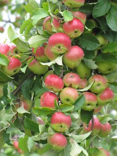 Pink Lady apples - The best apples in the Universe - An apple a day.keeps the doctor away ! Fruit Garden, Edible Garden, Vegetable Garden, Apple Plant, Apple Tree, Exotic Fruit, Tropical Fruits, Rosehip Recipes, Fruit For Diabetics