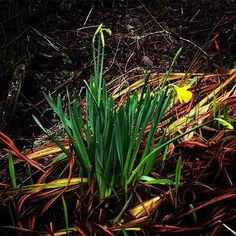 We saw these on our rounds yesterday. The first #daffodils so far this year. I love seeing them. They mean that #Spring isnt as far away as it feels. #home2kenmare