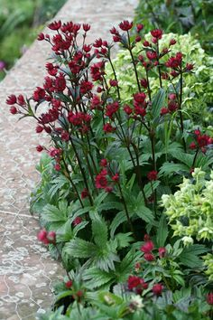 Astrantia 'Hadspen Blood' This Masterwort prefers part shade and moist soil that does not dry out. Masterwort blooms continuously throughout the summer and fall, wafting a sweet scent. Like Queen Anne's lace, each masterwort blossom is an umbel of tiny flowers, framed by a collar of papery bracts.