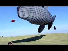 blue whale kite 100 ft long (30 mts) by peter lynn, is incredible!!