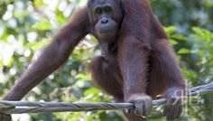 MALAYSIA: Bornean Orangutan Conservation at Sepilok Rehabilitation Centre