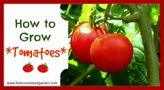 Learn how to grow tomatoes. Tomatoes are a popular vegetable to grow for many gardeners, both experts and novices. Here's the info you need to grow strong, healthy tomatoes.