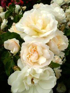 Rosa Easy Elegance Champagne
