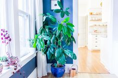Umbrella plants aren't topping the lists of trendy houseplants these days, but they're a low-maintenance, easy-to-care-for plant that can add graceful foliage to a room
