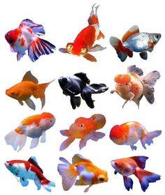 types of fancy Goldfish - Bing Images