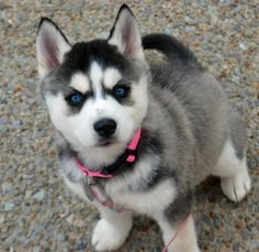 Violet the siberian husky