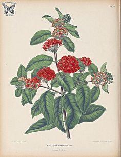 Butterfly Weed. Asclepias tuberosa. Flora. Afbeeldingen en beschrijvingen van boomen, heesters, éénjarige planten, enz., voorkomende in de Nederlandsche tuinen, Witte, H. (1868) [A.J. Wendel]