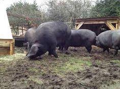 large black pigs Large Black Pig, Black Pigs, Happy Animals, Farm Animals, Pig Images, Pig Breeds, Small Pigs, Pig Farming, This Little Piggy