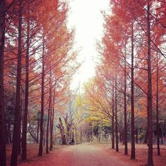 Nami Island, South Korea || a beautiful place all year long, but especially during fall.