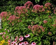 Joe-Pye Weed (Eupatorium)  4-6 ft., Full Sun.  Likes very moist soil, but tolerant.  Attracts butterflies.
