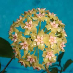 Hoya fitchii f/n/a CMF-8 $$$ SRQ 3012 Hoya fitchii f/n/a CFM - $16.00 : Hoya Plants and Cuttings