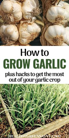 Homegrown garlic is an easy and satisfying crop for the home garden. New to growing garlic? Here's all you need to know to harvest garlic bulbs, shoots, and scapes for delicious meals and better health. #garlic #garden #gardeningtips #vegetablegardening Delicious Fruit, Delicious Meals, Vegetable Gardening, Gardening Tips, Fruits And Veggies, Vegetables, Garlic Bulb, Cleaning Recipes, Grow Your Own Food