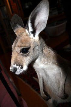 Cutest Baby Kangaroo in the History of Baby Kangaroos