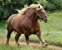 Massive flaxen chestnut Sztumski stallion. A regional breed of Polish Coldblood. photo: Wojtek Kwiatkowski.