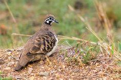 https://flic.kr/p/Dp1Rw3 | Squatter Pigeon | Squatter #Pigeon (Geophaps scripta), Twelve Mile Road, #Marmor.