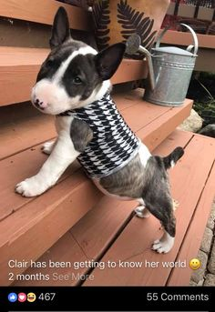 Clair, Bull Terrier, Puppy