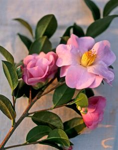 Captivating Camellias...absolutely beautiful