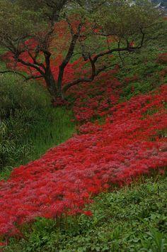 Cluster amaryllis #Tsuyagawa  #gifu #japan