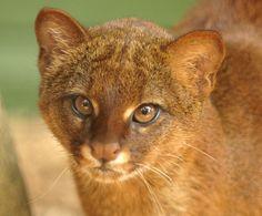 Jaguarundi head study   Flickr - Photo Sharing!
