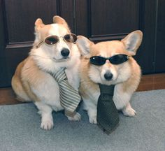 It's important to be able to assume convincing disguises when saving the world since, obviously, people can't suspect your true identity.   Irrefutable Proof That Corgis Are Actually Secretly Superheroes