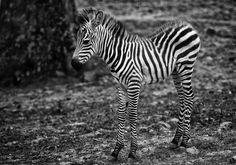 kermodephoto.be/ Brussels - Photography - Zebra - Baby - Pairi Daiza - Belgium