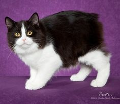 1000 Images About Manx On Pinterest Manx Cat Manx