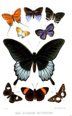 File:BorneanLepidoptera2 PZSL1873.jpg