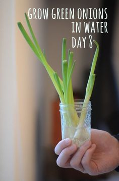 It's hard to use up all your green onion within the week and by the time you need them again, they're wilting and unappetizing.   Next time, chop off the green part of the plant and store them in a jar of water. Watch them magically grow back in a few days! You'll never have to buy green onions again.